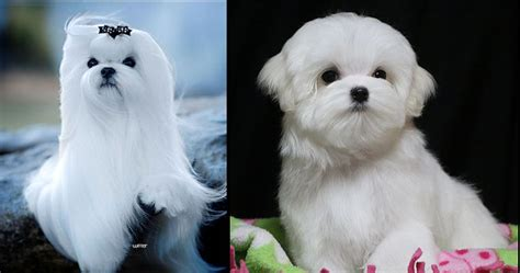 chion havanese puppies maltese show dogs puppies rhapsody maltese and professional handling