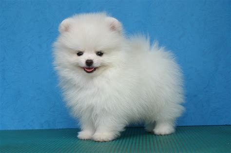 are pomeranians dogs pomeranian puppies pictures photos pics
