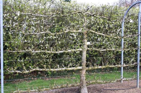 u cordon fruit trees r 233 aliser un palissage pour des fruitiers ma du