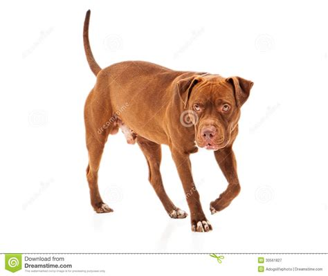 how to pitbull puppies to be guard dogs pit bull guard royalty free stock photography image 30561827
