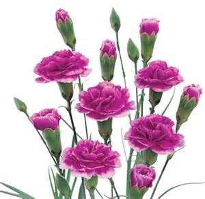 carnations in bulk purple mini carnations 160 stems