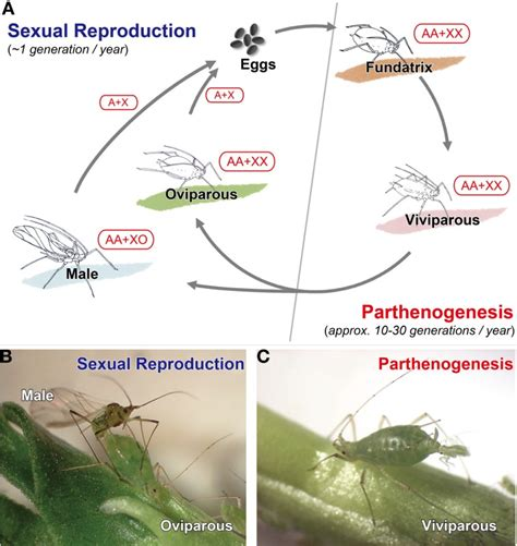 cycle of aphids diagram aphid acyrthosiphon pisum pea aphid facts cycle
