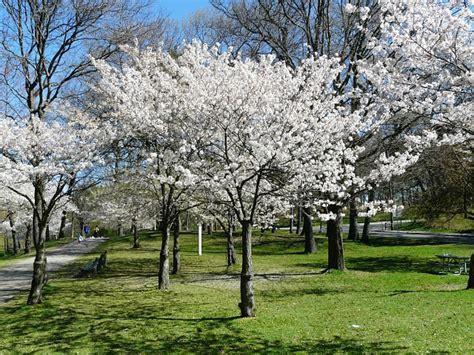 cherry tree yoshino toronto wildlife family