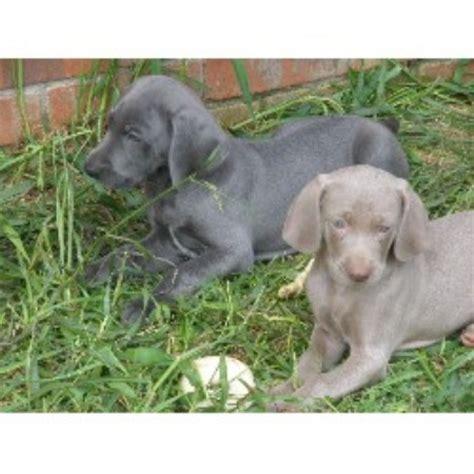 weimaraner puppies for sale in tn weimaraner breeders in tennessee freedoglistings