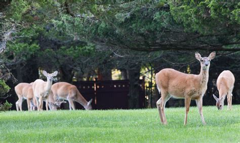 what can i feed deer in my backyard guest column deer can impact farms food safety suffolk