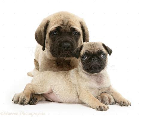 mastiff pug mix image mastiff and pug