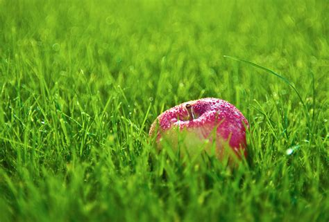 apple wallpaper grass apple on green grass wallpapers 2330x1578 2922906