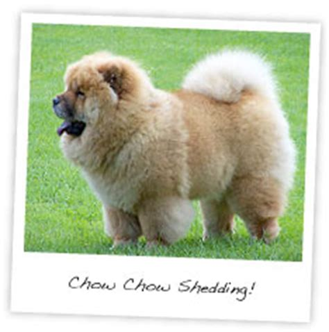 Do Chows Shed by Chow Chow Shedding