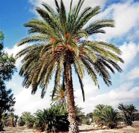 file djerba palmier dattier jpg wikimedia commons