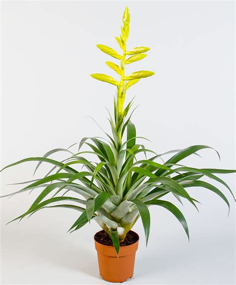 buy house plants buy house plants now tillandsia oerstediana bakker com