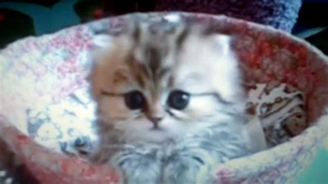 beautiful kittens the most beautiful kitten
