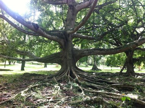Largest Botanical Gardens In The World Largest Fig Tree In The World Picture Of Royal Botanical Gardens Peradeniya Tripadvisor