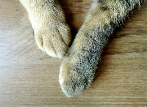 swollen paw on swollen paws in cats petmd