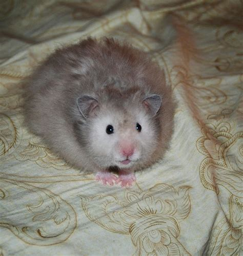 hamster colors 109 best images about hamster colors on