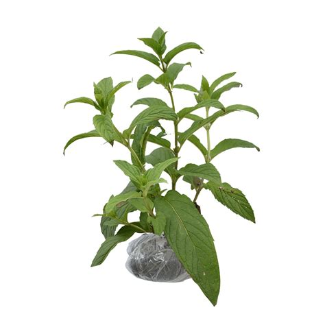 Jual Bibit Daun Kemangi bibit tanaman daun gedi daftar harga terbaru