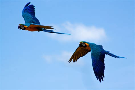 flying parrots ara ararauna blue and yellow macaw flickr