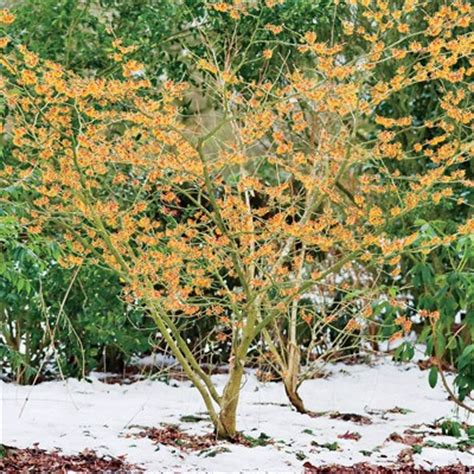 buy trees and shrubs online for less witch hazel shrub