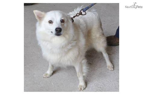 eskimo spitz puppies american eskimo dog5jpgamerican20eskimo20spitz breeds picture