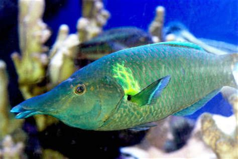 green bird wrasse bird wrasse gomphosus varius green bird wrasse brown