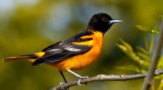baltimore oriole the biggest animals kingdom