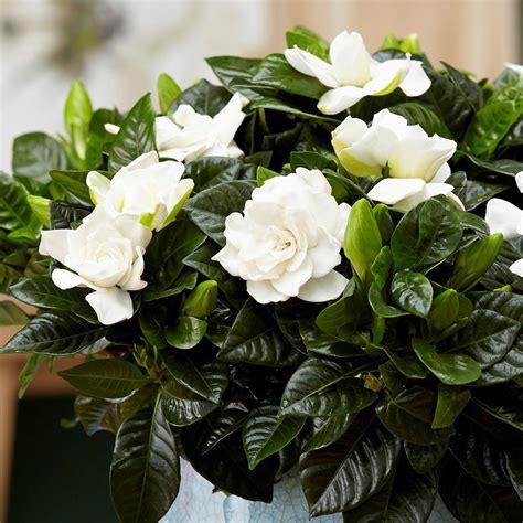 buy gardenia gardenia jasminoides  delivery  crocus