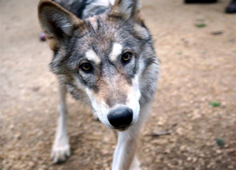 timber wolf puppies timber wolf puppies breeds picture
