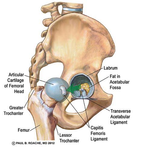 diagram of hip joint and your hips part 1 jason crandell vinyasa
