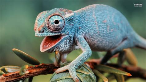 lizard images lizards images chameleon hd wallpaper and background