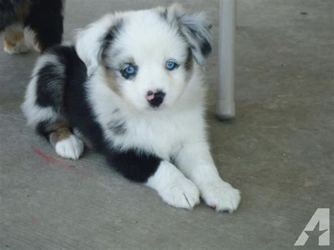 blue merle miniature australian shepherd puppies for sale mini australian shepherd puppies for sale in baytown classified