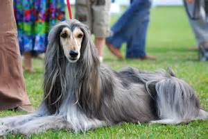 afgan arabian hair cuts afghan hound at the dog show wallpapers and images