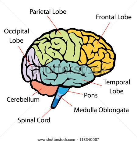 section of the brain brain sections vector stock vector