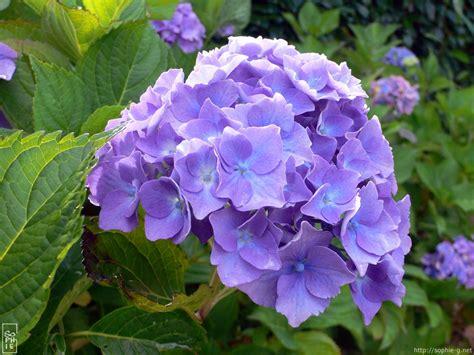 blue hydrangeas  desktop wallpaper hortensias