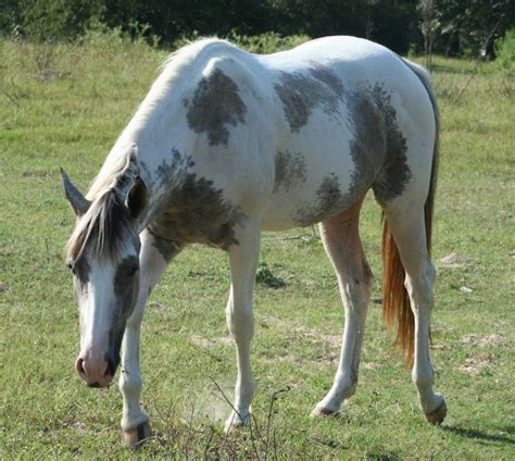 17 best images about paint horses on quarter horses for sale hunters and ponies