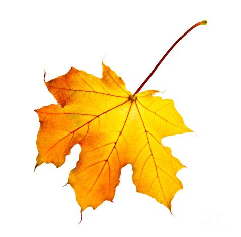 file maple leaf autumn jpg fall maple leaf photograph by elisseeva