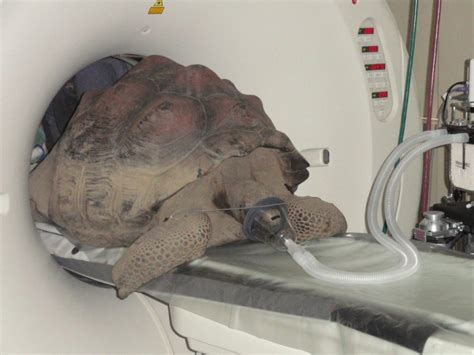 pounds in ct galapagos tortoise living in pound ridge has ct scan bedford ny patch
