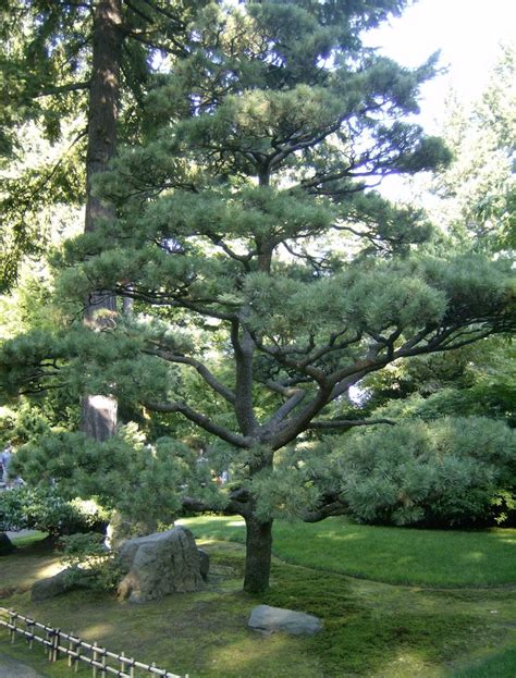 top traditional pine tree images 14 best pine tree landscaping peculiarities images on