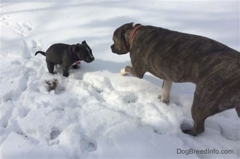 dog pees while walking in house raising a puppy mia the blue nose american bully pit 10 weeks old