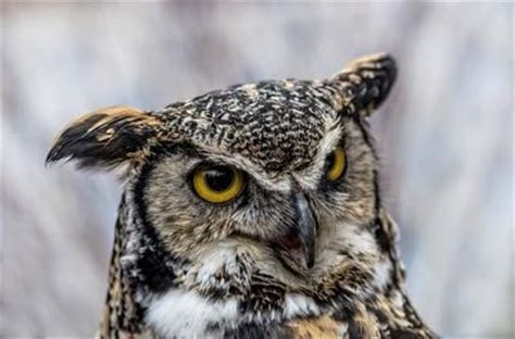 bird that sounds like an owl birds of prey