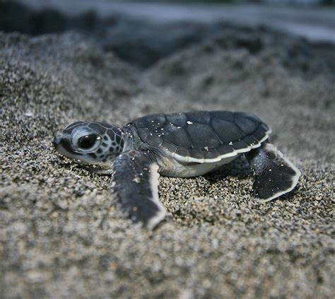 Edge Of The Plank: Cute Animals: Baby Sea Turtles