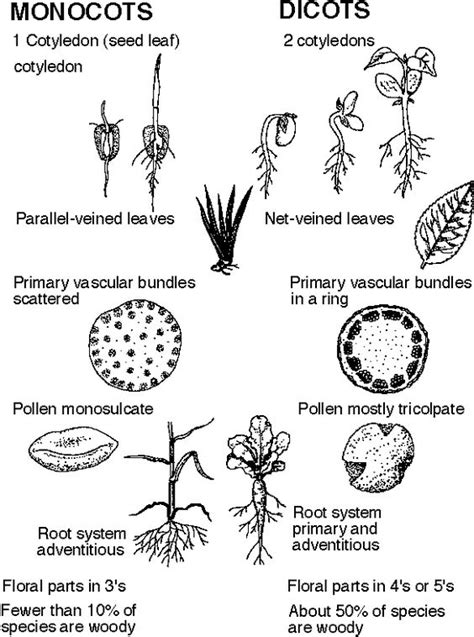monocot diagram diagram of monocot and dicot 28 images dicot seed
