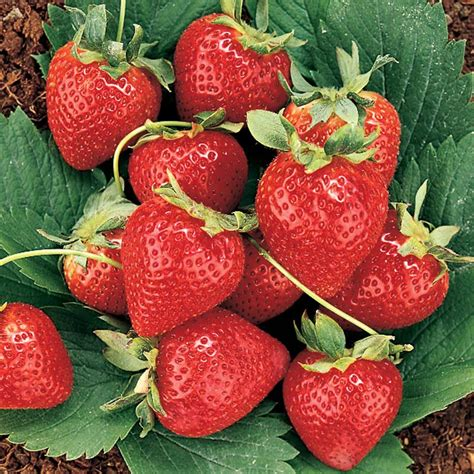 Strawberry Plant Best Of Both Worlds Strawberry Plant Collection Stark Bro S