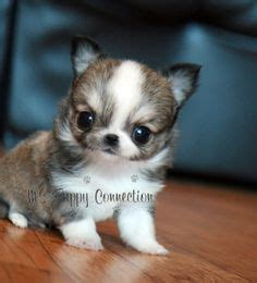 teacup yorkie information and facts animal pic on mini bulldogs shih tzu and teacup yorkie