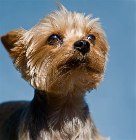 small yorkies terrier 15 best small breeds for indoor pets
