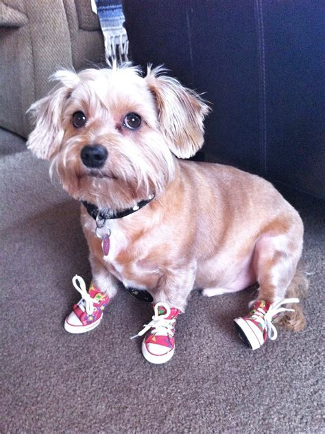 boots for yorkies dachshund breeds picture