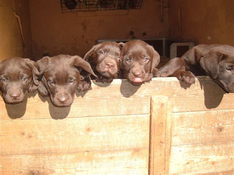 chocolate lab puppies for sale in md ready for adoption chocolate labrador retriever coat breeds picture