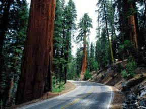 Chandelier Tree Redwood National Park Wallpapers Unlimited Redwood National Park California