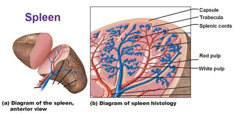 diagram of spleen spleen histology cross section or longitudinal section