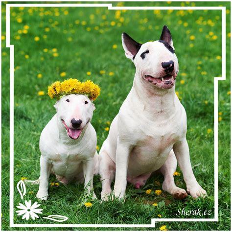 english bull terrier standard miniature bull terrier miniature vs standard www imgkid com the