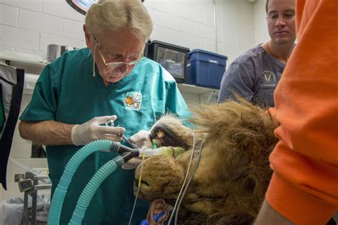 Colorado State Veterinary School Dvm Mba by King Of The Jungle Is Rescued Then Gets Royal Treatment
