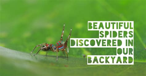 in our own backyard beautiful spiders discovered in our own backyard austates